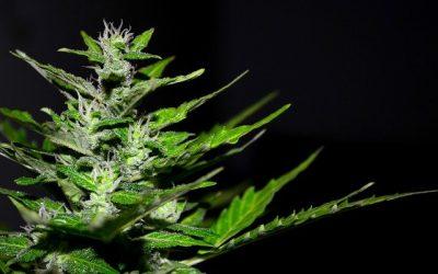 Cannabis planta